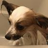 愛犬  シェリーの自宅シャンプー日