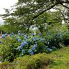 高田公園の極楽橋の紫陽花(あじさい)の花