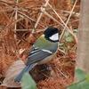 大阪市立長居植物園で野鳥撮影。シロハラ、コゲラ、シジュウカラ、ツグミ、モズ、コサギ。PowerShot SX70 HSで。