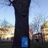 71歳のメープルの木と冬の働き方
