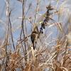 手賀川の枯れ草にとまるモズ