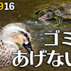0916【カルガモと亀がゴミを食べそうに、酷い】ヒヨドリ幼鳥の水浴び、スズメの米騒動、カエルがカラスに食べられる、カワセミにチョウゲンボウ【今日撮り野鳥動画まとめ】 #身近な生き物語