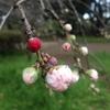 もうすぐ桜