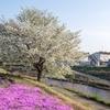 境川CRで満開の桜を堪能し裏ヤビツへ