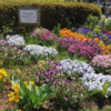 FCボランティアの花壇、今年も最高です!(2021年4月20日)