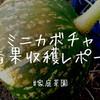 【家庭菜園】少し早いかな!?ミニカボチャの一番果、無事に収穫しましたよー!