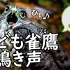 ツミの幼鳥【野鳥図鑑・鳴き声図鑑】親を呼ぶ鳴き声