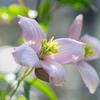 今年は花が少なめ:モンタナ・メイリーン