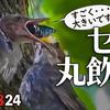 0824【カルガモ親子雛団子】ヒヨドリ親子のカタツムリ・セミ捕食、奇形水鳥、リアルハヤシガメ、バッタ変死体、カワウ幼鳥、カワセミなど【今日撮り野鳥動画まとめ】身近な生き物語