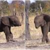 悲しい表情でママ背部だけ付きまとう「鼻」切られた象の赤ちゃん
