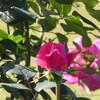 ノーブルアントニー 薔薇のつぼみ