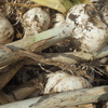 大大蒜を収穫