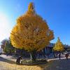 上野駅公園口前のイチョウ