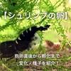 【シュリンプの卵】抱卵直後から孵化までの変化や様子を紹介!