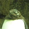 海遊館 オウサマペンギン