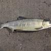 鮭釣り、こんなヒットが嬉しい!