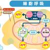 ATPに関する10の質問 身体を回復させ、元気に生きるために