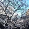 桜の開花状況 浜町緑道公園 2018/3/22
