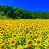 【ママチャリ旅34日目】ひまわり畑 in 北竜町。遂にママチャリ初の故障【8月20日】