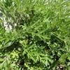 山菜の季節 その3 美味しいヨモギと猛毒のトリカブト
