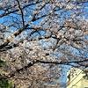 ちょこと桜レポート🌸