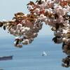 第111句:初桜