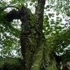 染井吉野の古木