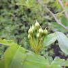 チョット膨らんできたつぼみ モッコウバラ 黄花