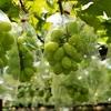 【シャインマスカット】食べ放題など楽しめる山梨県の農園15選