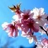「上ノ城跡」の桜が、見頃に…。