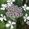 アジサイの花。