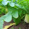 大根の収穫とニンジン最後の間引き