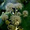 ヤツデの花 2012 12月