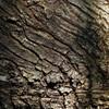 樹皮:シイノキ