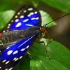 蝶樹の木から一匹の蝶 🦋 を日本の空へ