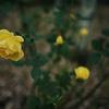 24mmの広角レンズで薔薇を撮るとこうなる