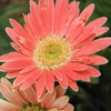 ガーベラは、まだ咲いているでしょうか