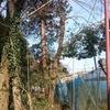 葡萄畑に被った雑木の伐採 2日目