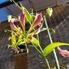 グロリオサの花色が悪いのは何故?