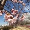 南千住 汐入公園の桜が咲き始めました
