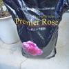 月に一度の追肥『鉢植えのバラの管理』
