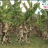 アジアで猛威の「新パナマ病」でスーパーからバナナが消える!?