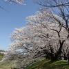 京都淀川河川公園背割堤地区の桜。満開。男山ケーブル。石清水八幡宮。