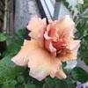 13本のバラの名前💛その2