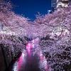 東京都心のお花見スポット④ 2019年の見頃は?夜桜ライトアップはどこで?