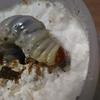 チョウセンヒラタを菌糸ビンへ