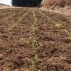 ラボ3畑の麦類