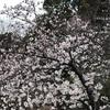 掛川フルへ 9  花見ラン