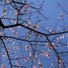 桜の木の下でお花見弁当♪