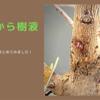 梅の木からゼリー状の樹液は大丈夫なのか?